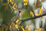 A Red-Cowled Cardinal Perching on a Tree in Sao Paulo's Ibirapuera Park Photographic Print by Alex Saberi