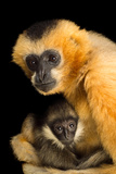 A Critically Endangered Female Northern White Cheecked Gibbon with Her Year Old Baby Photographic Print by Joel Sartore