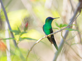 A Violet-Capped Woodnymph Perches on a Tree Branch in the Atlantic Rainforest Photographic Print by Alex Saberi