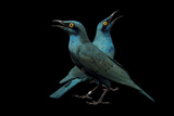 Lesser Blue-Eared Glossy Starlings, Lamprotornis Chloropterus, at the Houston Zoo Papier Photo par Joel Sartore
