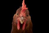 A Studio Portrait of a New Hampshire Red Hen Reproduction photographique par Joel Sartore