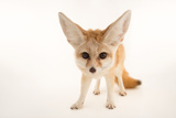 Three, Ten Week Old Fennec Fox Kits, Vulpes Zerda, at the Saint Louis Zoo Photographic Print by Joel Sartore