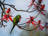 A Plain Parakeet Resting and Eating on a Coral Tree in Sao Paulo's Ibirapuera Park Photographic Print by Alex Saberi