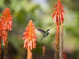 A White-Throated Hummingbird Feeds from Flower in Ibirapuera Park Photographic Print by Alex Saberi