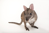 A Federally Endangered Parma Wallaby, Macropus Parma, at the Cleveland Metroparks Zoo Photographic Print by Joel Sartore