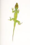 A Cuban Knight Anole, Anolis Equestris, at the Houston Zoo Photographic Print by Joel Sartore