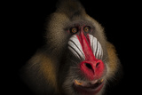 A Federally Endangered Mandrill, Mandrillus Sphinx, at the Gladys Porter Zoo Photographic Print by Joel Sartore