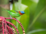 A Red-Necked Tanager Feeds from the Fruits of a Palm Tree in the Atlantic Rainforest Photographic Print by Alex Saberi