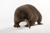 A Critically Endangered Male Eastern Long Beaked Echidna, Zaglossus Bartoni Photographic Print by Joel Sartore
