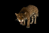 A Female Jaguar, Panthera Onca, at the Brevard Zoo Photographic Print by Joel Sartore