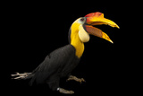 A Male Wrinkled Hornbill, Aceros Corrugatus, at the Houston Zoo Photographic Print by Joel Sartore