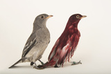 Two Pompadour Cotingas, Xipholena Punicea, at the Houston Zoo Photographic Print by Joel Sartore