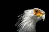 A Vulnerable Secretary Bird, Sagittarius Serpentarius, at the Toronto Zoo Photographic Print by Joel Sartore