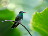 A Glittering-Throated Emerald Perching on Twig in Atlantic Rainforest, Brazil Photographic Print by Alex Saberi