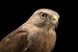 A Critically Endangered Ridgway's Hawk, Buteo Ridgwayi, at Parque Zoologico Nacional Papier Photo par Joel Sartore