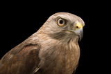 A Critically Endangered Ridgway's Hawk, Buteo Ridgwayi, at Parque Zoologico Nacional Photographic Print by Joel Sartore
