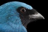 A Male Swallow Tanager, Tersina Viridis, at the Houston Zoo Papier Photo par Joel Sartore