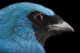 A Male Swallow Tanager, Tersina Viridis, at the Houston Zoo Photographic Print by Joel Sartore