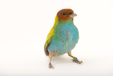 A Bay-Headed Tanager, Tangara Gyrola, at the Houston Zoo Reproduction photographique par Joel Sartore