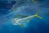 A Dorado or Mahi-Mahi Swims in the Waters Off Cat Island in the Bahamas Fotografisk tryk af Brian Skerry
