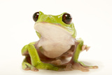 A Spurrell's Tree Frog, Agalychnis Spurrelli, at the Saint Louis Zoo Photographic Print by Joel Sartore