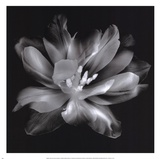 Radiant Tulip III Prints by Donna Geissler