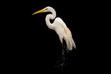 An American Great Egret, Ardea Alba Egretta, at the Saint Louis Zoo Photographic Print by Joel Sartore
