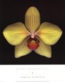 Phalaenopsis Posters by Harold Feinstein
