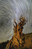 Star Trails around the North Celestial Pole Above a Bristlecone Pine Tree in California Fotografisk tryk af Babak Tafreshi