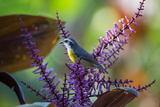 A Bananaquit Feeds from a Purple Flowering Plant in the Atlantic Rainforest Photographic Print by Alex Saberi
