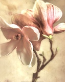 Pink Magnolia I Poster by Donna Geissler