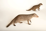 Two Banded Mongooses, Mungos Mungo, at the Fort Wayne Children's Zoo Photographic Print by Joel Sartore