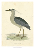 Vintage Night Heron Giclee Print by  Morris