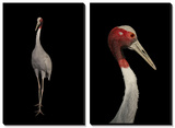 A Rare Indian Sarus Crane (Grus Antigone Antigone) Prints by Joel Sartore