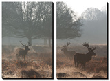 Three Large Deer Stags in the Early Morning Mist in Richmond Park Prints by Alex Saberi