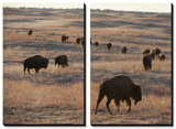 A Herd of Bison Roam on a Ranch Posters by Joel Sartore