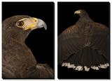 A Western Harris' Hawk (Parabuteo Unicinctus Superior) in Palm Desert, California Print by Joel Sartore