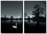 A Solitary Mute Swan (Cygnus Olor) Swimming in a Pond Prints by Alex Saberi