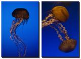Jellyfish Art by Joel Sartore