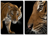 An Endangered Malayan Tiger (Panthera Tigris Jacksoni) Prints by Joel Sartore