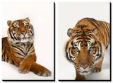 An Endangered Sumatran Tiger (Panthera Tigris Sumatrae) at the Miller Park Zoo Posters by Joel Sartore