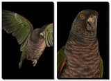 An Endangered Imperial Parrot at the Rare Species Conservatory Foundation Prints by Joel Sartore