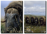 Close View of a Bull Musk-Ox and Four Musk Oxen Posters by Joel Sartore