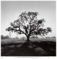 Oak Tree, Sunrise Art Print by Ansel Adams