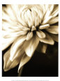 White Flowers (B&W Photography) Posters
