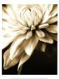 Botanik (fotografi i sepia) Posters