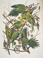 Carolina Parakeet, from 