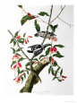 Downy Woodpecker, from