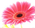 Magenta Gerbera Kunsttryk af Michael Bird