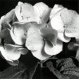 Hydrangea Kunsttryk af Darlene Shiels